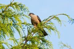 Falco shinned marcato in cedro Fotografia Stock Libera da Diritti