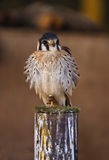 Falco sparverius. The American Kestrel (Falco sparverius), sometimes colloquially known as the Sparrow Hawk, is a small falcon, and the only kestrel found in the Stock Photography