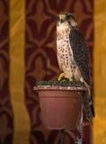 Falco sparverius Royalty Free Stock Photo