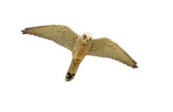 Falco su bianco Fotografia Stock Libera da Diritti