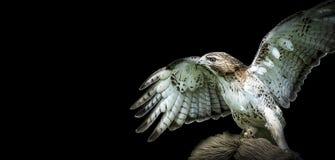 Falco su richiamo Fotografia Stock Libera da Diritti