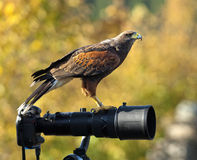 Falco su un lense Immagini Stock Libere da Diritti