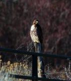 Falco su una posta Fotografia Stock Libera da Diritti