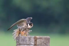 Falco subbuteo royaltyfri bild
