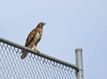 Falco sulla rete fissa Fotografia Stock Libera da Diritti