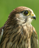 Falco tinnunculus. Falcon in front of green background Stock Images