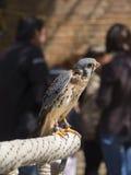 falco tinnunculus Fotografia Royalty Free