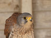 Falco tinnunculus - Common Kestrel sitting on his perch in a barn stock images
