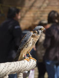 Falco tinnunculus Royalty Free Stock Photography