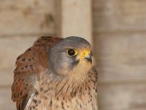 Falco-tinnunculus - Gemeenschappelijke Torenvalkzitting op zijn toppositie in een bar stock afbeeldingen
