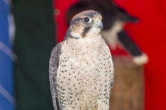 Falco tinnunculus Royalty Free Stock Photo