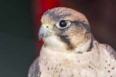 Falco tinnunculus head Royalty Free Stock Image