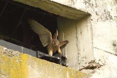 Falco-tinnunculus jugendliches Lernen zu fliegen Stockbilder