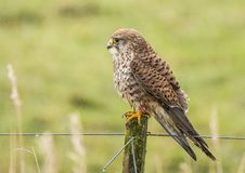 Kestrel, Falco tinnunculus. Bird of prey. Falco tinnunculus, the Kestrel is a small bird of prey royalty free stock image