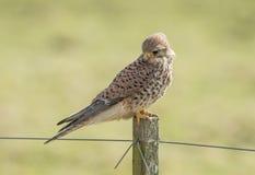 Kestrel, Falco tinnunculus. Bird of prey. Falco tinnunculus, the Kestrel is a small bird of prey royalty free stock photography