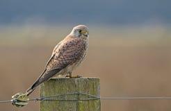 Kestrel, Falco tinnunculus. Bird of prey. royalty free stock images