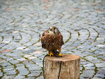 Falco tinnunculus (Postolka obecna) Bird of prey Royalty Free Stock Photography