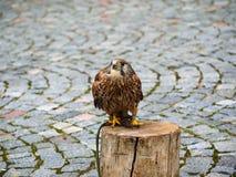 Falco-tinnunculus (Postolka-obecna) Raubvogel Lizenzfreie Stockfotografie