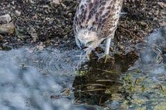 Falco variabile giovanile Fotografia Stock