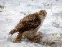 falco Vasto-alato che mangia uno scoiattolo fotografie stock libere da diritti