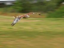falco Vasto-alato durante il volo fotografia stock