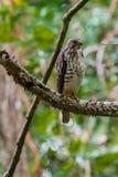 Falco Vasto-alato giovane fotografie stock libere da diritti