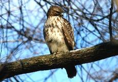 Falco vigile Immagini Stock Libere da Diritti