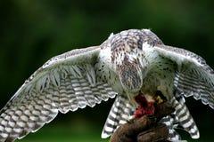 Falcon Royalty Free Stock Photography
