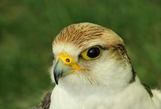 The Falcon Royalty Free Stock Images