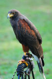 Falcon. ( Hawk ), standing in Medieval Festival, New York City Stock Photography