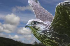 Falcon. Photo of a Falcon against a blue and cloudy sky. The Falcon in sharp focus the background soft to create depth Royalty Free Stock Images