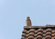 Falcon. This image shows a portrait from a kestrel royalty free stock photos