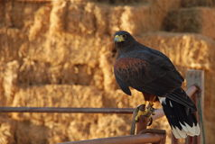 Falcon. Tame falcon sitting on a gate on a farm, hay in the background stock photo
