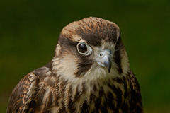 Falcon. An Eleonora's Falcon. It inhabits Mediteranian islands Royalty Free Stock Photo