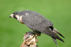 Falcon. Is eating meat in Seattle ZOO Stock Photos