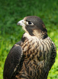 Falcon Royalty Free Stock Photos