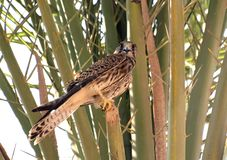 Falcon. Egypt falcon sitting on a palm tree Stock Images