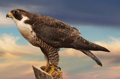 Falcon Stock Images