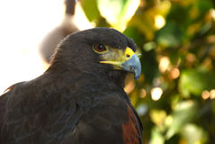 Falcon. Tamed falcon close up picture royalty free stock image