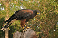 Falcon. Tamed falcon sitting on old tree trunk stock image