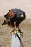 Falcon. Tamed falcon sitting on old tree trunk royalty free stock photo