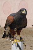 Falcon. Tamed falcon ready to take flight royalty free stock images