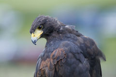 Free Falcon Royalty Free Stock Photo - 17844695