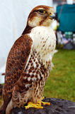 Falcon. Tamed falcon sitting on a stand Royalty Free Stock Images