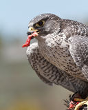Falcon. With partial of his prey Royalty Free Stock Image