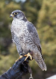Falcon. Sitting on trainer glove Royalty Free Stock Image