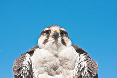 Falcon. Detailed image of a lugger falcon against a vibrant blue sky Royalty Free Stock Image