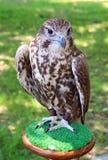 Falcon Stock Photo
