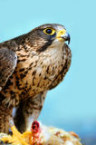 Falcon. On blue sky background Royalty Free Stock Photography
