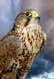 Falcon. On dark sky background Royalty Free Stock Photo